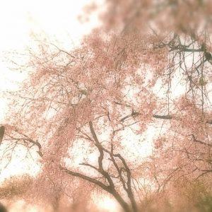 桜-300x300-1.jpeg